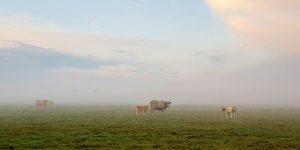 Koeien nabij het Gasterensediep